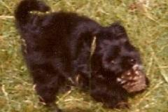 Porkie-pup