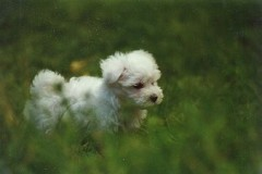 Sasja-pup