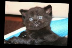 Smokey-kitten